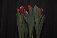 Westfriese mini Flora